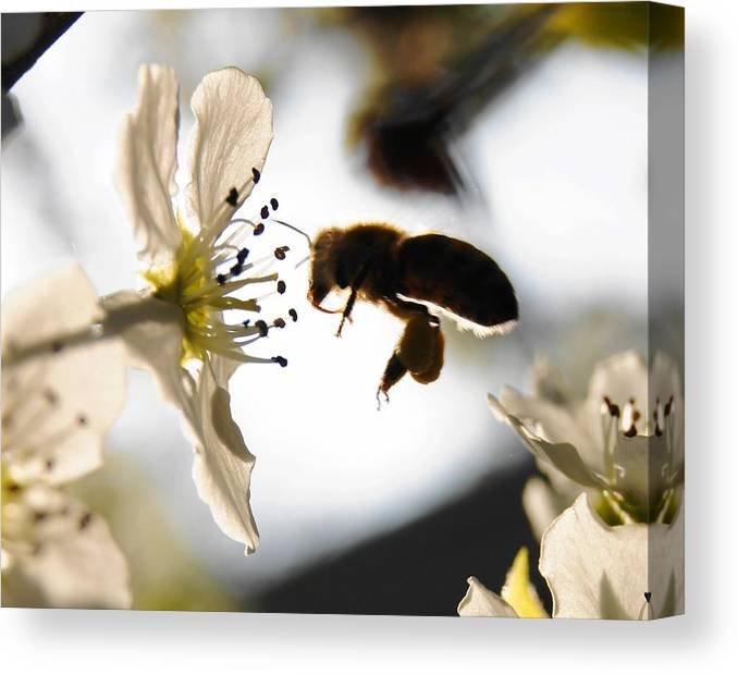 Flower Canvas Print featuring the photograph Beeee by Amy Zwick