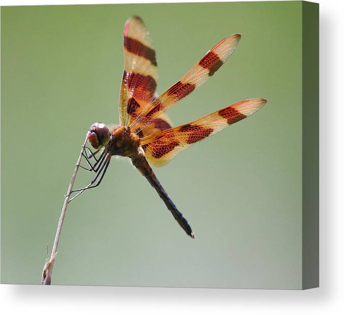 Wildlife Canvas Print featuring the photograph Halloween Pennant Dragonfly by Larry Federman