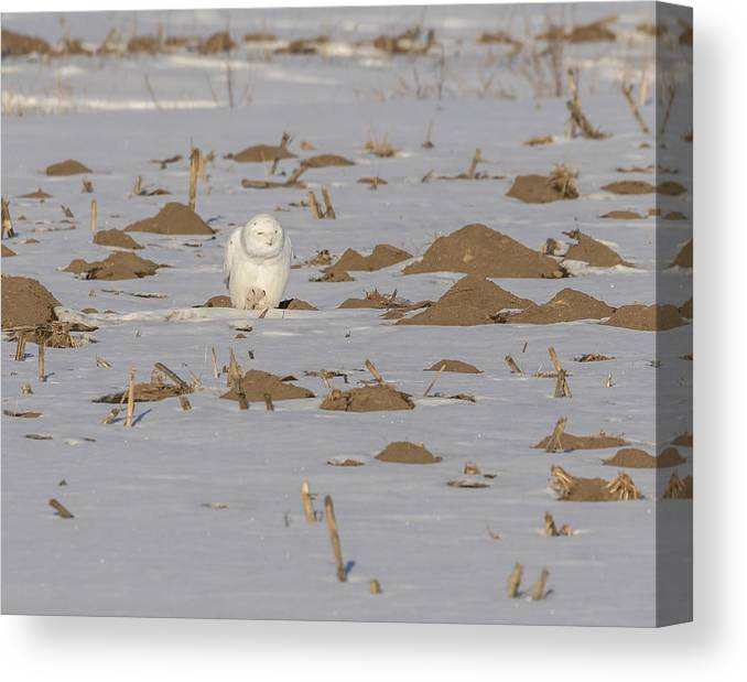 Snowy Owl Bubo Scandiacus Canvas Print featuring the photograph Snowy Owl 2016-9 by Thomas Young
