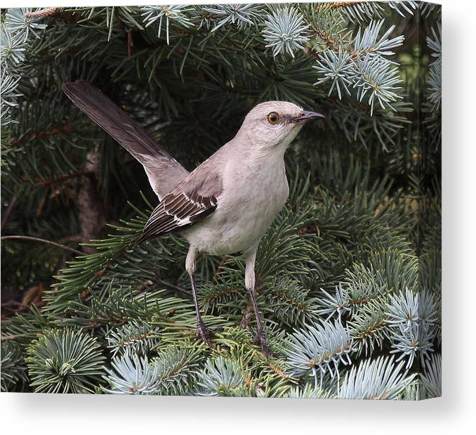 Bird Canvas Print featuring the photograph Spruced-up Mocker by Larry Federman