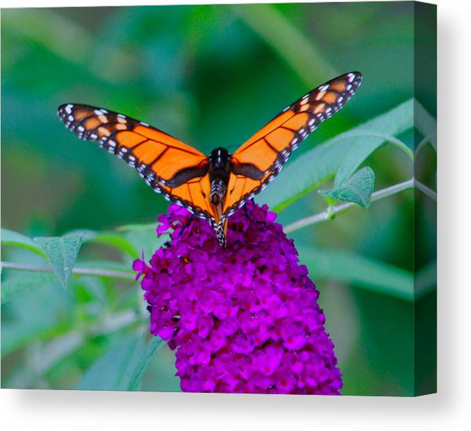 Butterfly Canvas Print featuring the photograph Victory by Carol A Commins