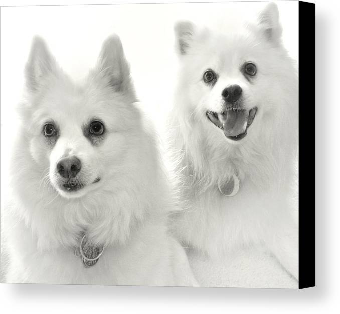 Dogs Canvas Print featuring the photograph American Eskies by Julie Palencia