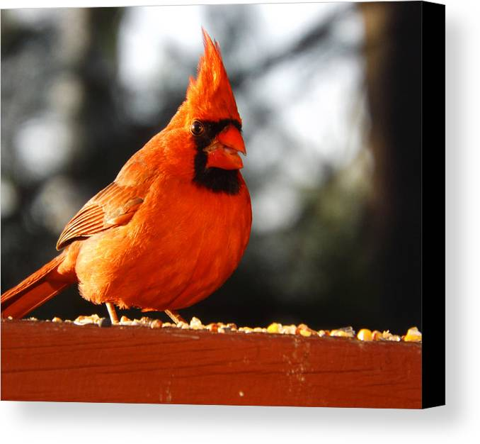 Redbird Canvas Print featuring the photograph Beautiful Red Bird by Cynthia Syracuse