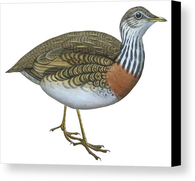 No People; Horizontal; Side View; Full Length; White Background; Standing; One Animal; Animal Themes; Nature; Wildlife; Beauty In Nature; Illustration And Painting; Plains Wanderer; Pedionomus Torquatus Canvas Print featuring the drawing Plains Wanderer by Anonymous