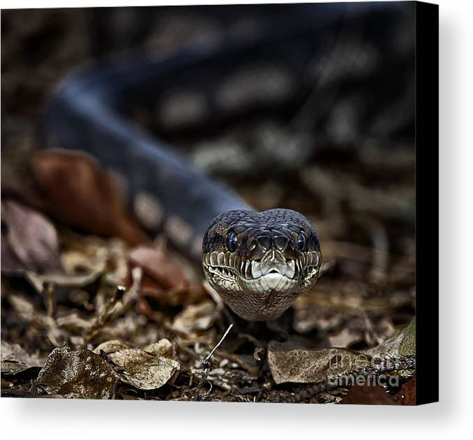 Pam B Canvas Print featuring the photograph Python by Pam B
