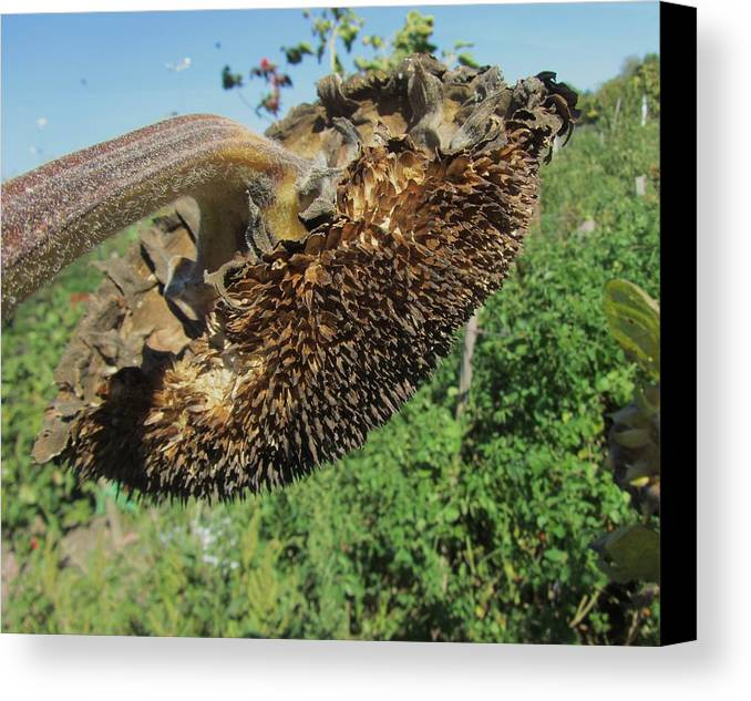 Sunflower Canvas Print featuring the photograph Flower by Todd Sherlock