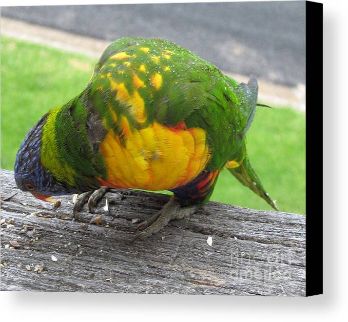 Lorikeet Canvas Print featuring the photograph Free Feed by Joanne Kocwin