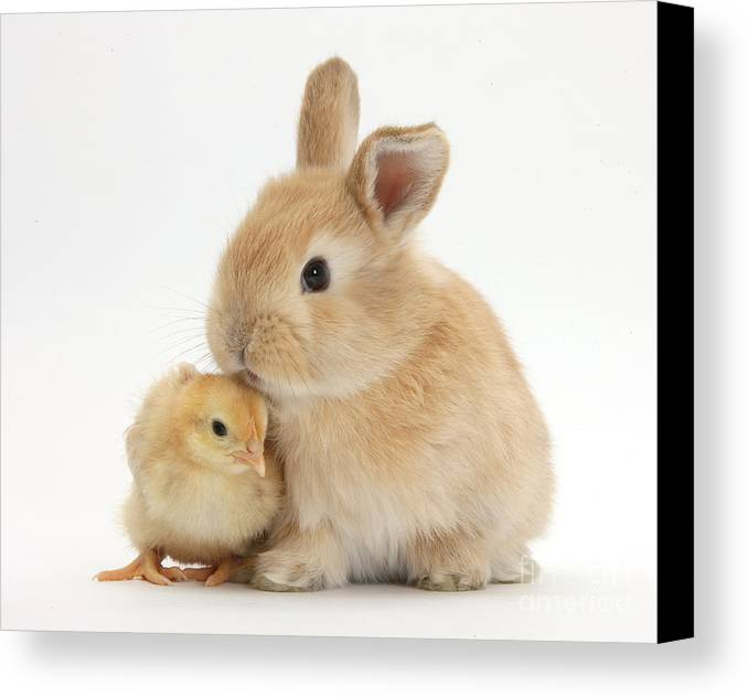 Sandy Rabbit Canvas Print featuring the photograph Sandy Rabbit And Yellow Bantam Chick by Mark Taylor