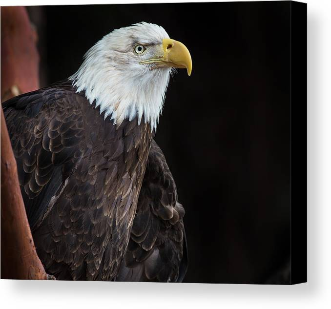 Bald Eagle Canvas Print featuring the photograph Bald Eagle Intensity by Greg Nyquist