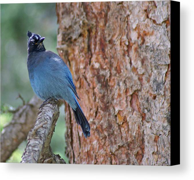 Blue Jay Canvas Print featuring the photograph Blue Jay by Heather Coen