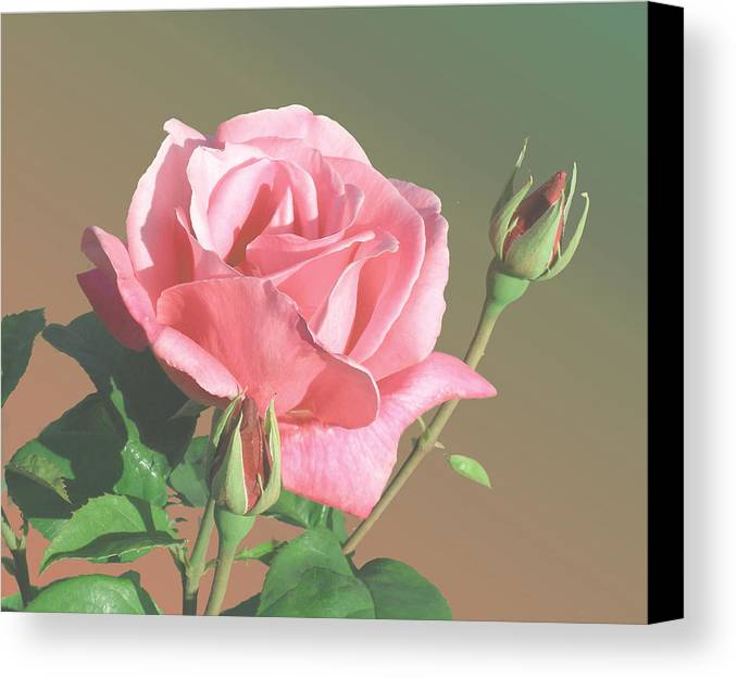 Flower Canvas Print featuring the photograph Rose And Two Buds by Wilbur Young