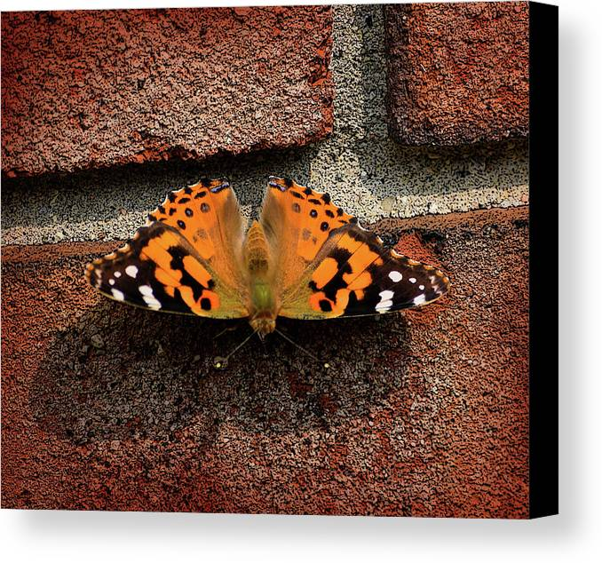 Butterfly Canvas Print featuring the photograph Skipper Warming In The Morning Sun by Bob Belz