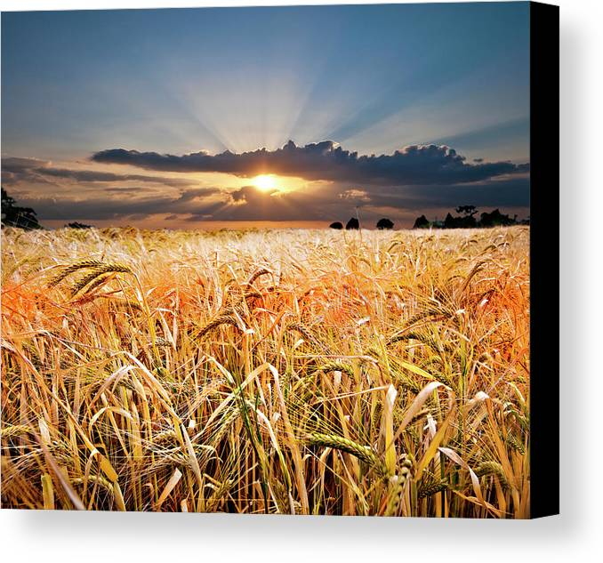 Wheat Canvas Print featuring the photograph Wheat At Sunset by Meirion Matthias