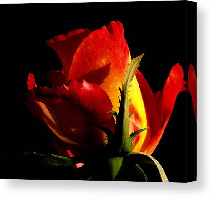Rose Canvas Print featuring the photograph Rising Rose by Camille Lopez