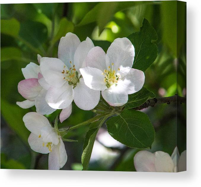 Plants Canvas Print featuring the photograph Apple Blossom Time by Renette Coachman