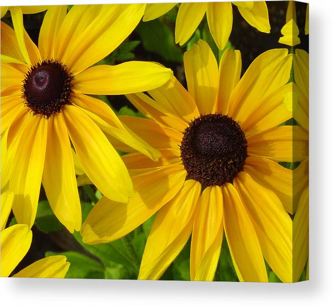 Black Eyed Susan Canvas Print featuring the photograph Black-eyed Susans Close Up by Suzanne Gaff