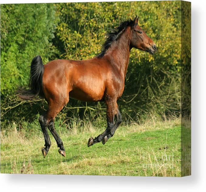 Horse Canvas Print featuring the photograph Jump Jump Jump by Angel Ciesniarska