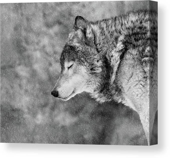 Wolf Canvas Print featuring the photograph Let It Snow by Victoria Ivanova