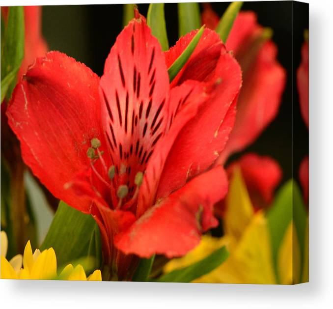 Red Lilly Canvas Print featuring the photograph Staying Alive... by Tanya Tanski