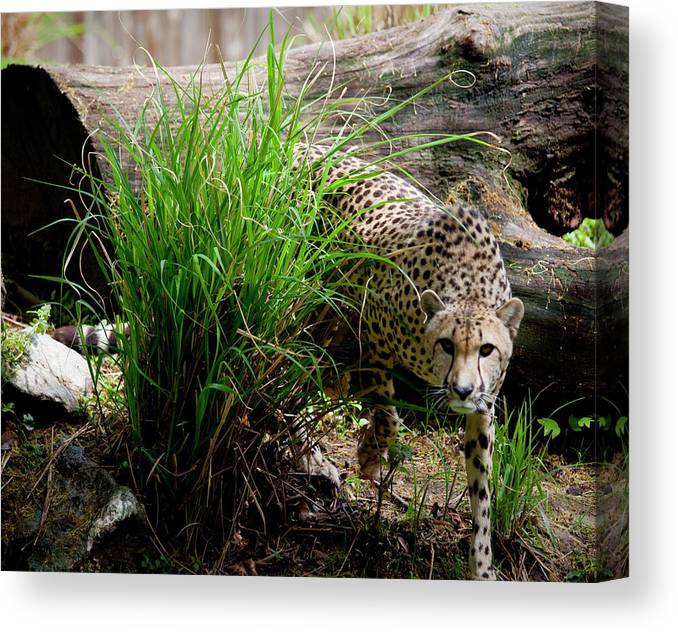 Big Cat Canvas Print featuring the photograph Cheetah by Christina Durity