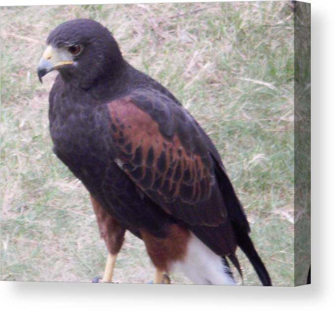 Falcon Ii Canvas Print featuring the photograph Falcon II by Edward Wolverton