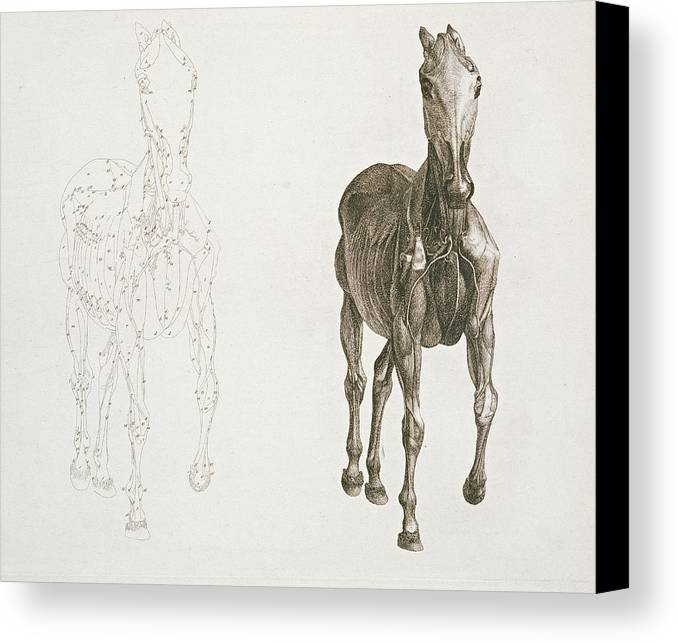 Tab Viii From The Anatomy Of The Horse Canvas Print Canvas Art By