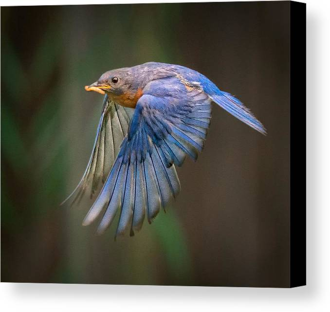 Bluebird In Flight Canvas Print featuring the photograph Bluebird No. 2 by Rick Barnard