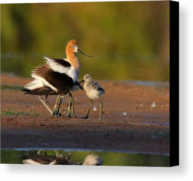 American Avocet Canvas Print featuring the photograph Mom And Baby Avocet by Ruth Jolly