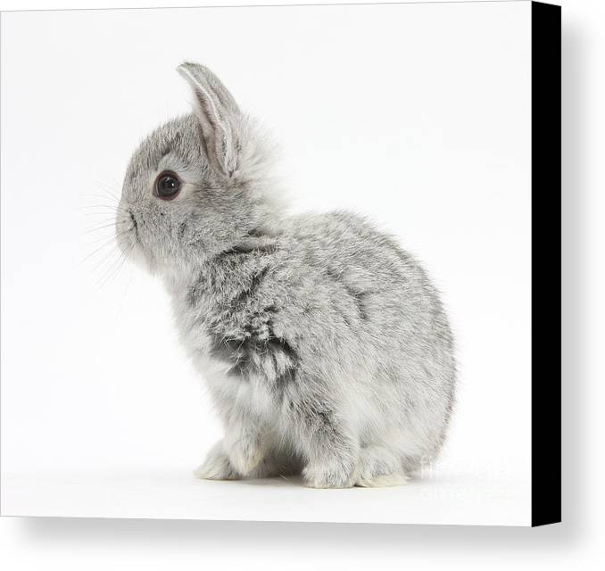 Nature Canvas Print featuring the photograph Baby Silver Rabbit by Mark Taylor