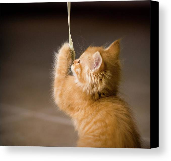 Horizontal Canvas Print featuring the photograph Fuzzy Baby Kitten Playing And Pulling On A Cord by Carl M Christensen in Minnesota