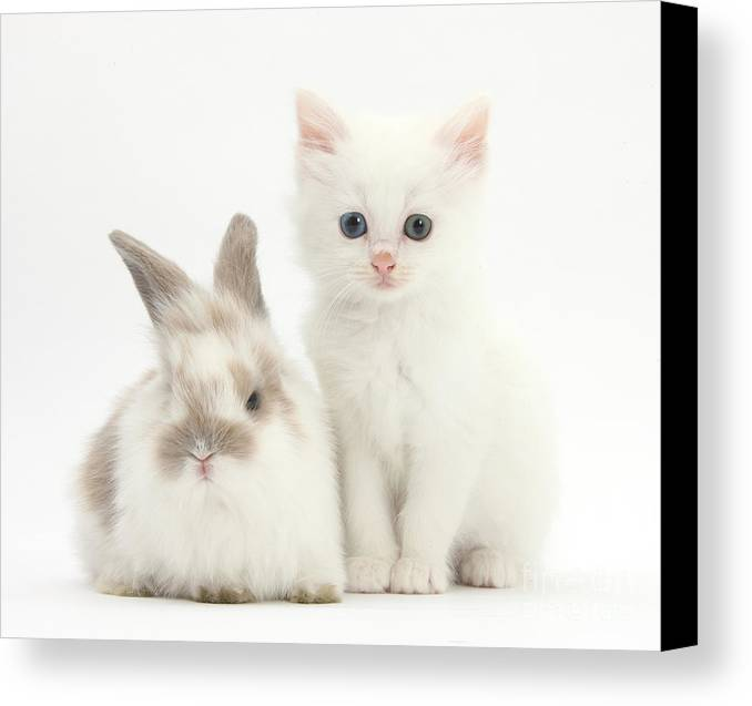 Nature Canvas Print featuring the photograph White Kitten And Baby Rabbit by Mark Taylor