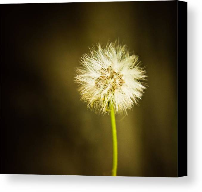 Dandelion Canvas Print featuring the photograph Wishes by Sara Frank