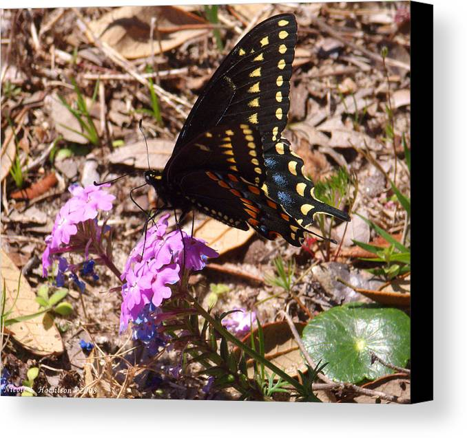 Butterfly Canvas Print featuring the photograph Black Swallowtail Butterfly by Nicole I Hamilton