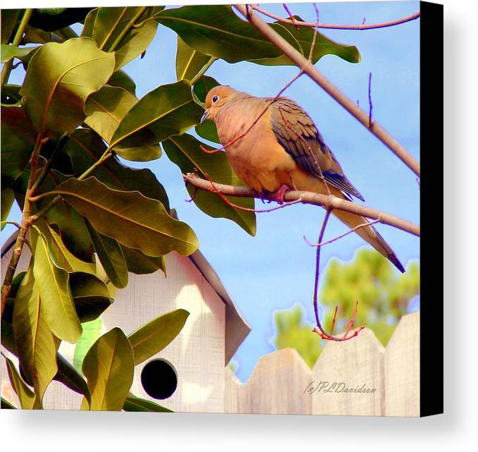 Birds Canvas Print featuring the photograph Darling Dove by Patricia L Davidson
