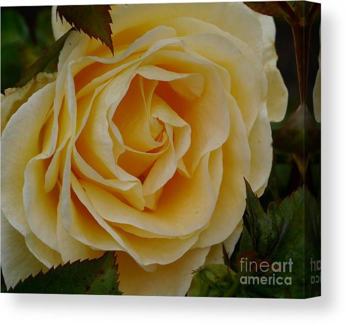 Rose Canvas Print featuring the photograph Golden Celebration by Christiane Schulze Art And Photography