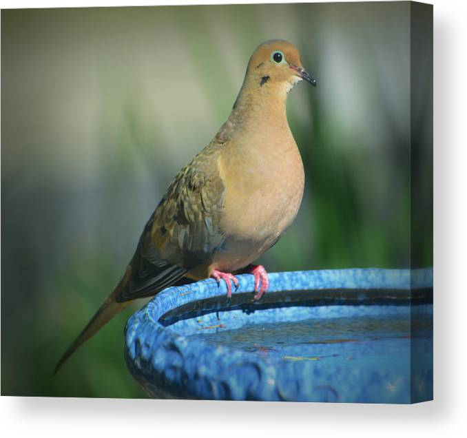 Mourning Dove Canvas Print featuring the photograph Mourning Dove On Birdbath by Josephine Buschman