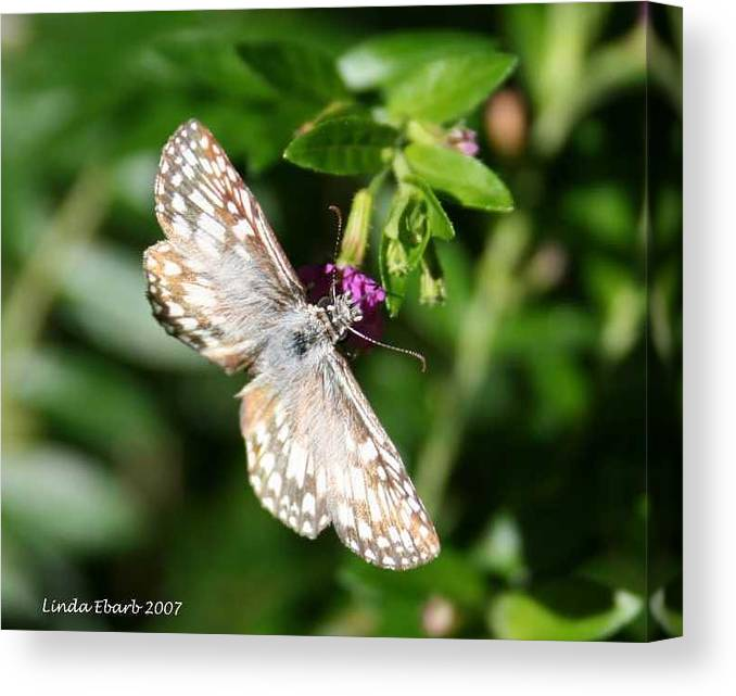 Insect Canvas Print featuring the photograph Feast Of Mexican Heather by Linda Ebarb