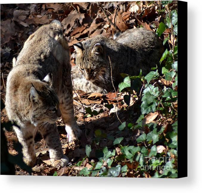 Wildlife Canvas Print featuring the photograph Bobcat Couple by Eva Thomas