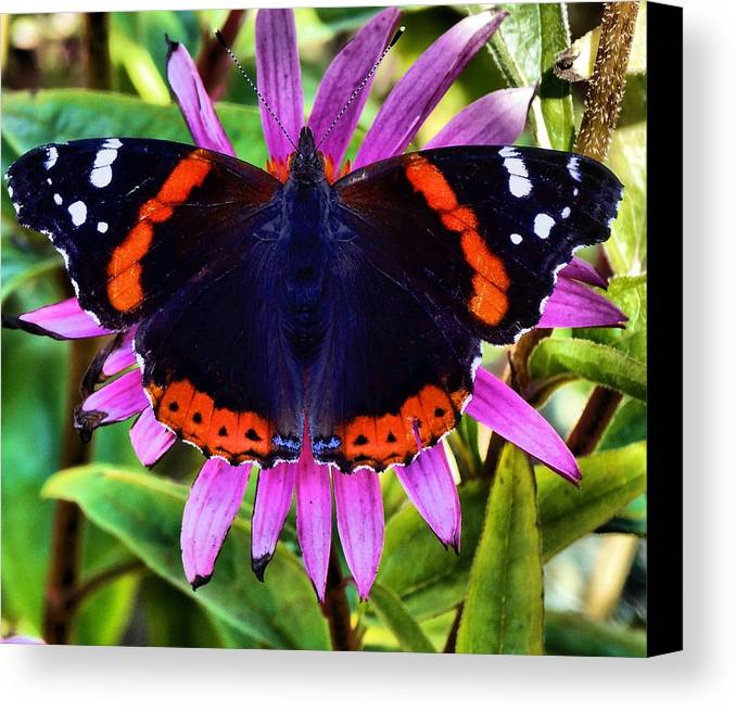 Butterfly Photograph Canvas Print featuring the photograph Mammoth Butterfly by Dan Sproul