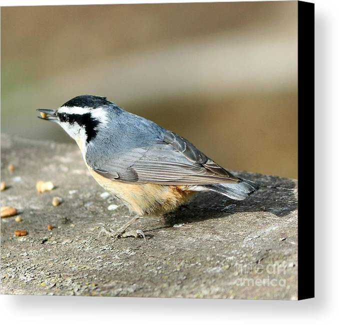 Red-breasted Nuthatch Canvas Print featuring the photograph Red-breasted Nuthatch by Lori Tordsen