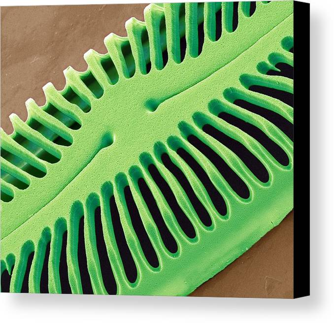 Pinnularia Sp Canvas Print featuring the photograph Diatom Frustule, Sem by Steve Gschmeissner