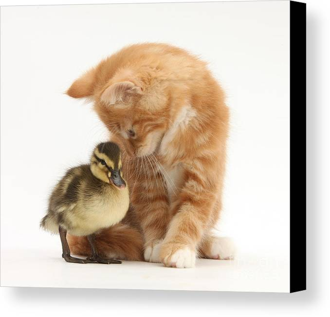 Nature Canvas Print featuring the photograph Ginger Kitten And Mallard Duckling by Mark Taylor