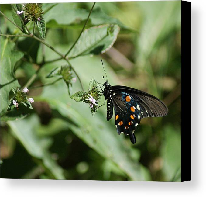 Butterfly Canvas Print featuring the photograph Slim Pickens by Rick Friedle