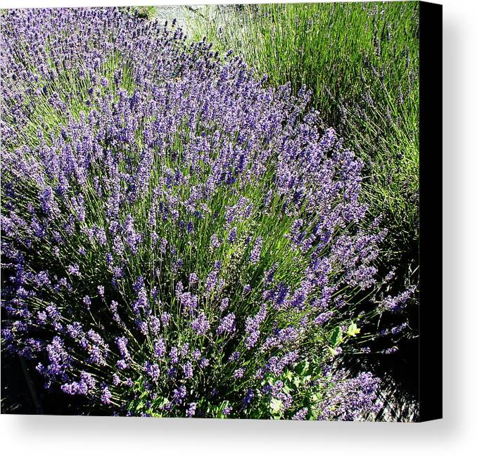 Flowers Canvas Print featuring the photograph Lavender by Valerie Josi