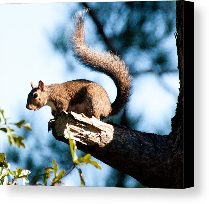 Sea Gull Canvas Print featuring the photograph Squirrel On Limb by Bill Perry