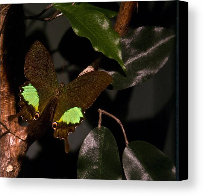 Tropical Canvas Print featuring the photograph Tropical Buterfly by Douglas Barnett