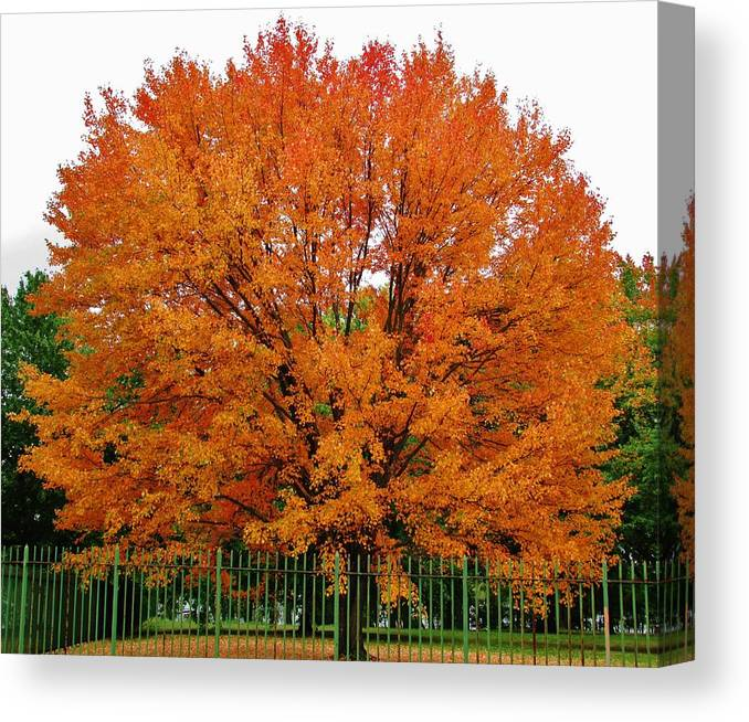 Fall Foliage Trees Canvas Print featuring the photograph Big Tree In Autumn by Thomas McGuire