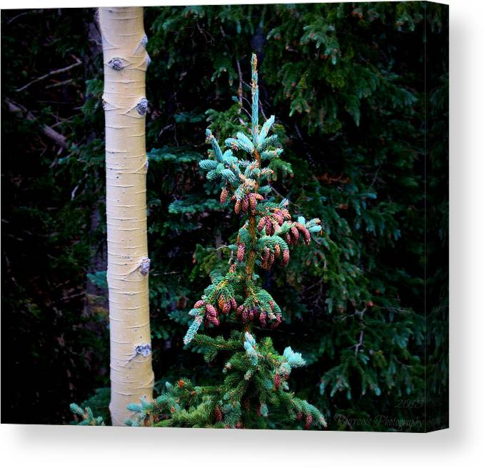 Flagstaff Canvas Print featuring the photograph Englemann Spruce And Aspen by Aaron Burrows