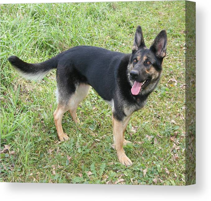 German Shepard Canvas Print featuring the photograph Phantom The Dog That Survived The Prairie by Amelia Painter