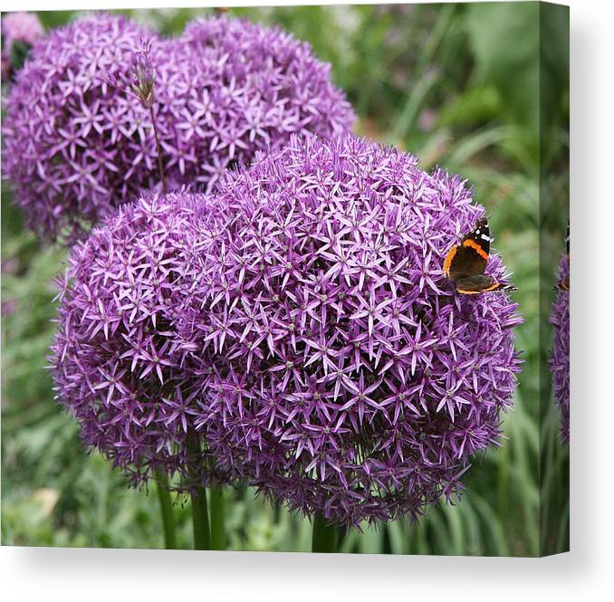 Allium Canvas Print featuring the photograph Favorite Butterfly Spot by Christiane Schulze Art And Photography